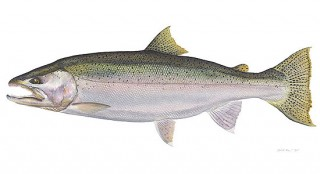 Illustrtion of steelhead trout